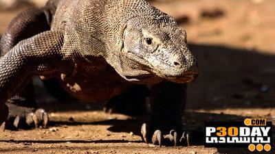 دانلود مستند ناگفته های اژدهای کومودو بزرگترین گونه از خانواده مارمولکها
