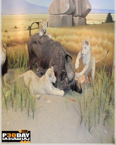 دانلود پر بازدیدترین مستند سال Battle at Kruger 2011 دوبله فارسی