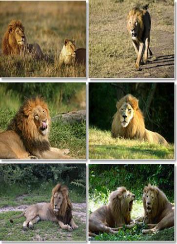 دانلود مستند آخرین شیرها The Last Lions 2011